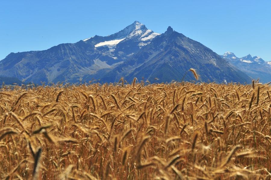 La Biopanetteria di Aosta- Cereali di montagna