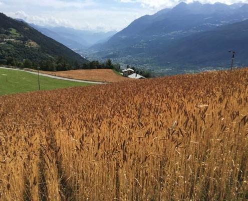 fasi di lavoro del cereale di montagna