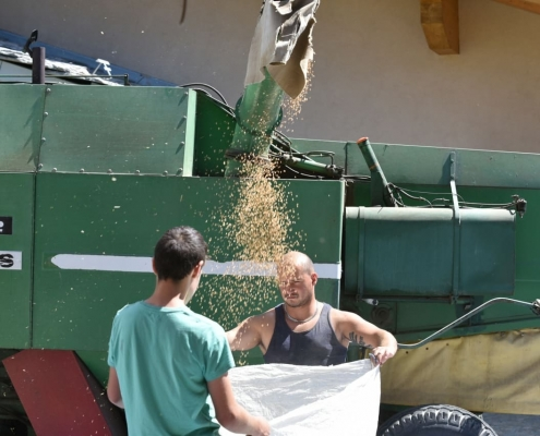 raccolta cereali Biopanetteria Aosta